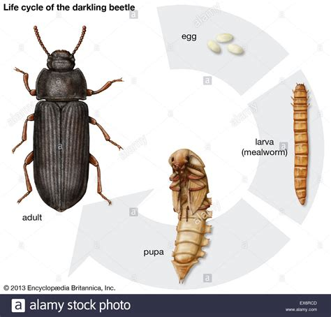 Life cycle of the darkling beetle Stock Photo: 84972621