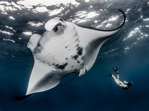 Photos: A Sanctuary for Enormous, Majestic Manta Rays   WIRED