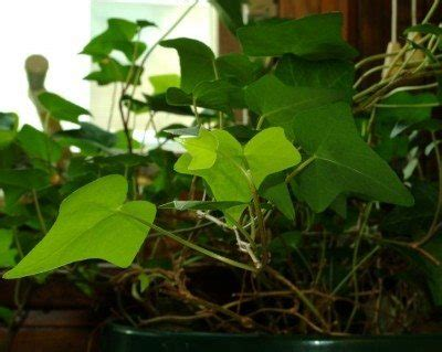 Ivy Plant Care: Tips For Growing Ivy Indoors