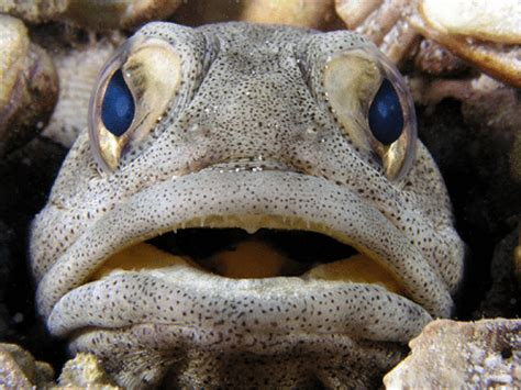 Jawfish l Astounding Creature Carries Eggs in Its Mouth