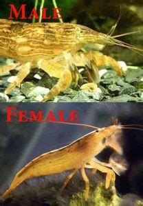 Bamboo shrimp – Detailed Guide: Care, Diet and Breeding
