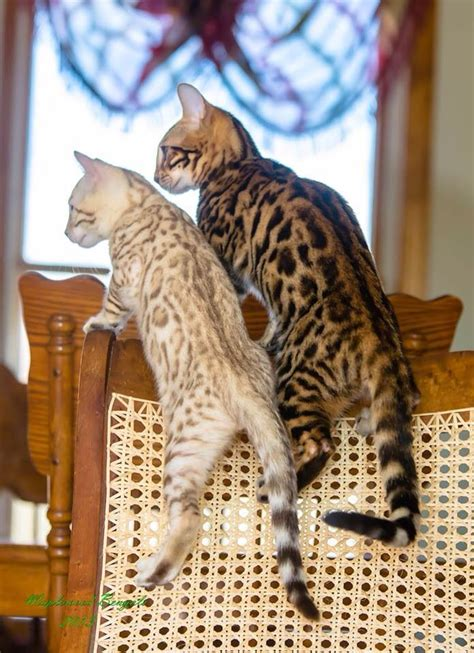 Interesting Facts and Beautiful Photos of Bengal Cats