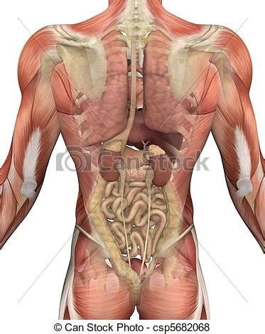 Stock Illustration of Male Torso with Muscles and Organs