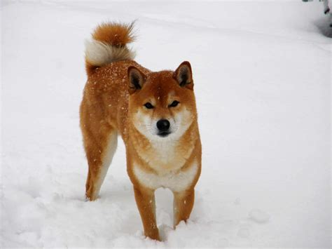 11 Japanese Dog Breeds You Need to Meet | The Dog People