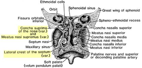 Coronal section through the posterior part of the nasal