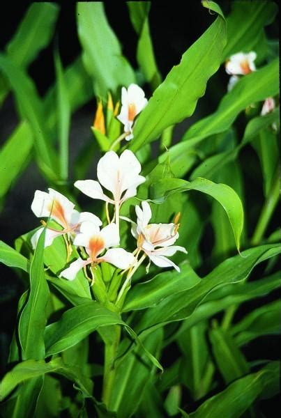 Learn about Hedychium Pink Flame   Hardy Ginger Lily