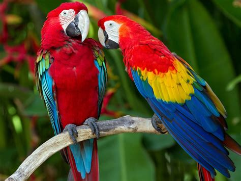 Scarlet Macaw Colorful Parrots Exotic Tropical Birds Red