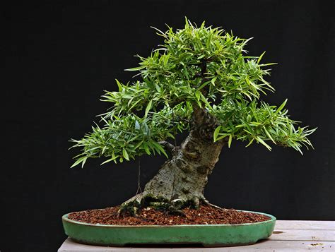 Ficus salicaria Informal Upright 8-18-11   Another of my
