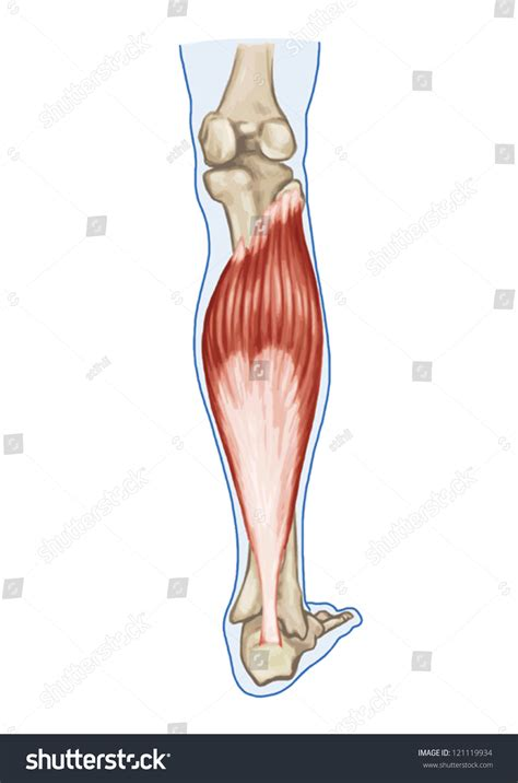 Soleus Anatomy Muscular System Extensor Muscle Stock