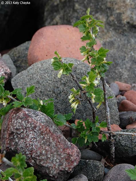 Ribes oxyacanthoides (Northern Gooseberry): Minnesota